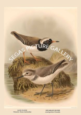 SAND PLOVER - Thinornis Novae Zealandiae, WRY-BILLED PLOVER - Anarhynchus Frontalis